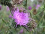 Thistle flowers attract more insects