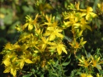 The zone beside the hedge provides excellent growing conditions for St. John's Wort