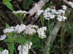 The medicinal plant yarrow grows in the area between hedge and field
