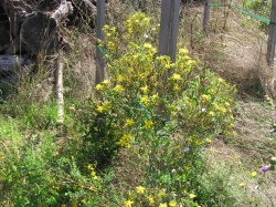 Medicinal plant - St. John's Wort, wonderfully developed